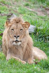 Ernest the Lion. (LisaDiazPhotos) Tags: ernest lion sandiegozoo sandiegozooglobal sandiegozoosafaripark sanding sdzsafaripark sdzoo