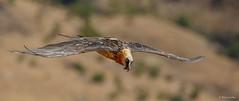 Bearded Vulture (Lammergeier)  - Gypaetus barbatus  -4619 (Theo Locher) Tags: beardedvulture lammergeier lammergier bartgeier gypaetebarbu gypaetusbarbatus birds vogels vogel oiseaux drakensberg kwazulunatal southafrica zuidafrika giantscastle copyrighttheolocher