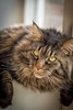 Little miss Sunday River Brewery (ParadoX_Design) Tags: cat maine coon pussy pussycat kitty pet feline animal kat poes eyes beautiful pretty adorable cute fur purr