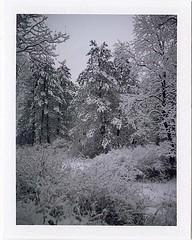 (babireley) Tags: polaroid250 fujifilmfp100c pawilds pottercounty pa pottercountypa winter trees sn susquehannockstateforest