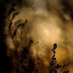 _IGP3347_web (Erik Koffmar) Tags: sunset pentax k10d meyer görlitz orestor 135mm f28 vintage vintagelens silouette siluette silhouette silhouettes golden goldenlight macroflowerlover macrodreams meyergörlitz m42 december doubleexposure oldlens
