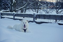 It's a Snow Life (grisswife) Tags: fence sunset germany snow dog malamute