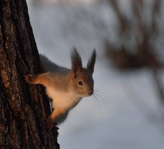 DSC_1724 (anla0070) Tags: squirrel elagin saint petersburg winter park snow