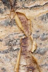 It's A-Peeling Bark (vbalson) Tags: macromondays itsapeelingtome