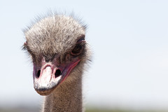 Ferocious ostrich