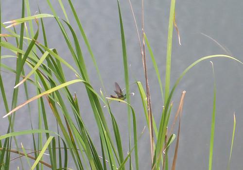 Amazilia tzacatl (Rufous-tailed Hummingbird)