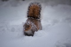 Snow day squirrel (Litratistica Images NYC) Tags: canonef70200mm canoneos5dmark2 white newyork city gray red squirrel animal winter snow