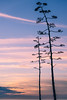 Agave and Sunset (maida0922) Tags: a7r fe85mmf14gm california sandiego lajolla scrippsinstituteofoceanology seaside pacific ocean horizon sunset sky cloud succulent agave flower spike winter