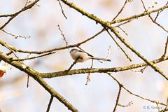 Schwanzmeise 2 (rgr_944) Tags: vögel vogel bird oiseau tiere animaux animals natur outdoor canoneos80deos7dmk2 rgr944