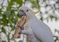 This is my bread (S♡C) Tags: sulphurcrestedcockatoo cockatoo parrot australia wild native