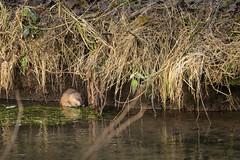ragondin tout timide (rascal76160) Tags: rat ragondin