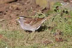 White-throated Sparrow/white stripe (AtmosFear Video) Tags: whitethroatedsparrow