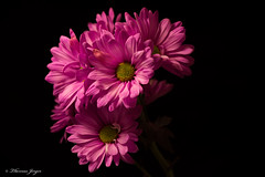 Ready for Action 0110 Copyrighted (Tjerger) Tags: nature beautiful beauty black blackbackground blooming boom daisies daisy flora floral flower flowers green petals pink plant portrait stems winter wiscconsin yellow natural