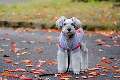 落ち葉舞う季節 (photojiro) Tags: xc50230mmf4567oisⅱ fujifilmxpro2 fujifilm fujinon lr velvia テオ 曇り 秋 長野運動公園 10月 落ち葉 紅葉