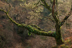 Black Spout (matrobinsonphoto) Tags: black spout pitlochry scotland scottish tree woodland wood forest branches branch light sunlight sunlit sun lit winter moss green back silhouette gorge valley nature natural wet countryside rural outdoors beautiful perthshire