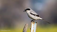 Loggerhead Shrike and a sanity check (Bob Gunderson) Tags: birds california coyotevalley laniusludovicianus loggerheadshrike northerncalifornia santaclaracounty shrikes southbay
