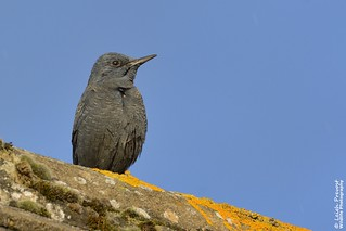 Blue Rock Thrush, Monticola solitarius