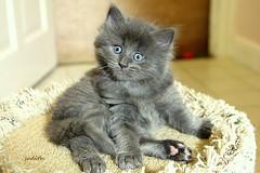 """I'm SHOCKED!"" (judecat ( celebrating spring)) Tags: cat kitten feline longhairedgreycat bigeyes wideeyes shocked vinny"