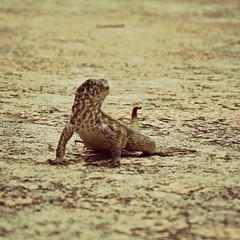 IMG_3678_fix (goatling) Tags: island reptile lizard tropical tropic caribbean cayman grandcayman westbay britishwestindies gcm201506 201506gcm