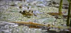 The Pond Has Eyes (David J. Julián) Tags: naturaleza fauna pond ngc frog ranas finegold charcas bestnature davidjjulián