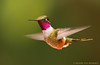 Magenta Throated Woodstar (hvhe1) Tags: wild bird nature animal costarica hummingbird wildlife monteverde hover kolibrie specanimal hvhe1 hennievanheerden calliphloxbryantae magentathroatedwoodstar colibrimagenta costaricaanseboself monteverdecountrylodge