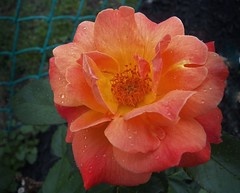 Orange you a pretty one (MissyPenny) Tags: orange flower rose flora bristolpennsylvania livineasyrose