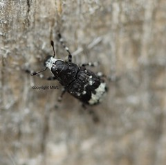 Tropideres albirostris (Phil Arachno) Tags: germany insecta coleoptera hexapoda arthropoda hessen schwanheimerdüne schwanheim deu anthribidae breitrüssler