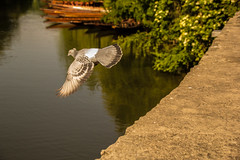 Taube fliegt los (Alias_Axel_Ryder) Tags: canon eos d insel axel ufer fluss taube 60 neckar vogel mauer flug stocherkahn fliegt federn büsche neckarinsel