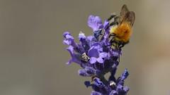 lockender Lavendel (karinrogmann) Tags: summer estate sommer lavender bumblebee bombo hummel lavanda lavendel