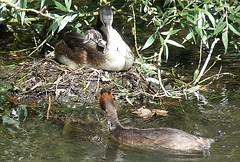 Grebe Family (Hornbeam Arts) Tags: bird lee lea essex greatcrestegrebe
