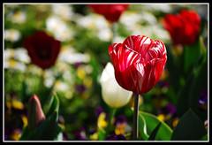Candy Stripes (Shaun Versey) Tags: flowers petals stem nikon candy stripe canberra floriade d40x
