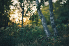 Day 204 (~ Maria ~) Tags: flowers sunset summer grass 50mm bokeh july lastlight birchtrees day204 2015 mariakallin 365project nikond800 freelensing