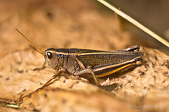 Grasshopper Details (brady tuckett) Tags: flowers color nature colors insect bokeh insects grasshopper brady tuckett helios helios40285mmf15 bradytuckett