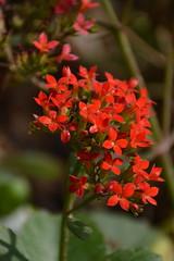 Kalanchoe blossfeldiana Poelln. Crassulaceae-flaming Katy, กุหลาบหิน