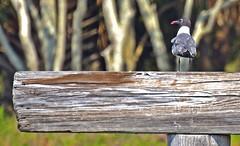 FAVORITE PERCH (Wolf Creek Carl) Tags: nature birds outdoors florida shorebirds nikond7000 onlythebestofflickr