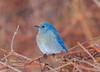Mountain Bluebird (DBartesJr.) Tags: mountainbluebird bluebird westernbluebird mountain