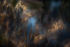 Lumières de fêtes (Isabelle Aurore) Tags: roseaux bleu or descembre exterieur gold winter hiver