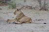 Löwen / Lions (brainstorm1984) Tags: big5 lioness boteti safari löwen makgadikgadi junge desertdeltasafaris makgadikgadipansnationalpark pantheraleo botswana wildlife löwin wildfelinephotography botetiriver leroolatau cubs lion makgadikgadipansgamereserve löwe lions bigfive northwestdistrict botsuana bw