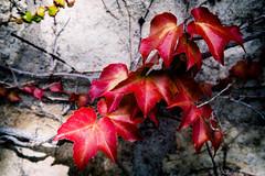 Red (Explored 13.12.2016) (Ó.Guð) Tags: leav leaves lauf haust haustlitir fall fallcolors red óguð ogud olafurragnarsson ólafurragnarsson