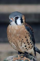 American kestrel (SteveInLeighton's Photos) Tags: transparency england gloucestershire agfachrome newent 1981 may falconry falcon