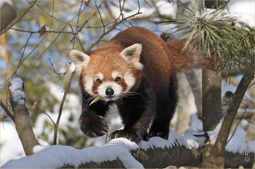 Sweet lesser Panda