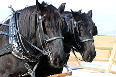 shuttle bus drivers (oldogs) Tags: horse horses blackhorse tack t6s percheron drafthorse