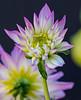 opening night (reserves13) Tags: dahlia flower purple dof