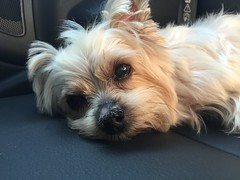 tan b so tired after photoshoot (ceci cheung) Tags: yorkie yorkshireterrier tanji