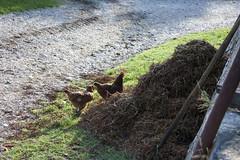 Near the Bottega del Palagio (rfzappala) Tags: europe 2016 italia italy tuscany chianti gallo rooster