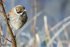 Reed Bunting (parry101) Tags: parc slip nature reserve south wales bird birds reed bunting reedbunting buntings outdoor bridgend animal southwales geraint parry geraintparry