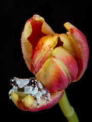 There's an Amazon milk frog in my tulip! (susie2778) Tags: amazonmilkfrog frog flash olympus omdem1mkii 60mmmacrof28 captive captivelight tulip trachycephalusresinifictrix amphibian flower bournemouth macro