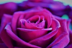 PURPLE (andreea_mihailiuc) Tags: macro flower floral plant purple color focus depthoffield monday photography relaxing londn nikon d3200 andreealoredanamihailiuc nature