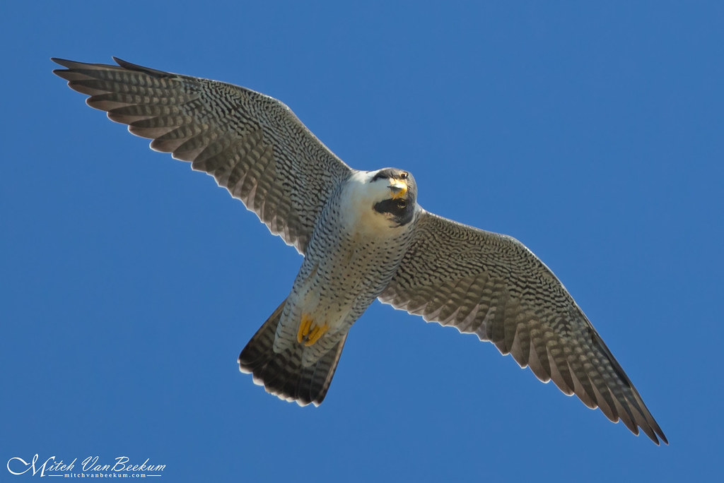 Checkin' Me Out (Male Peregrine Falcon)