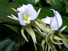 Angraecum eburneum (Eerika Schulz) Tags: angraecum eburneum berggarten hannover herrenhausen herrenhäuser garten orchidee eerika schulz
